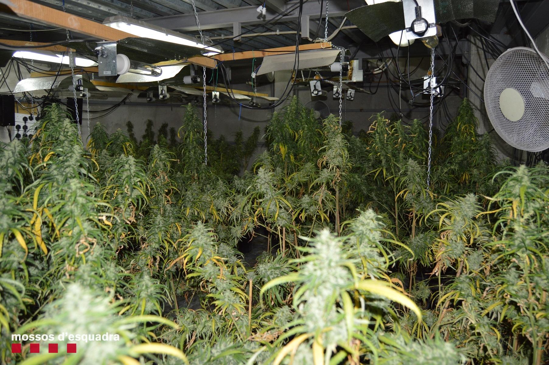 Una plantació d'interior de marihuana desmantellada pels Mossos en un magatzem / ACN