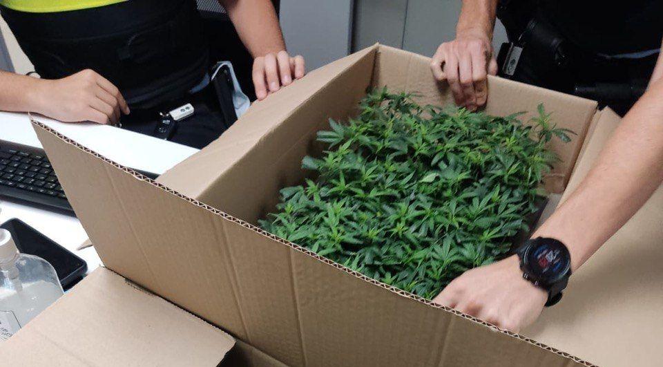 Els planters de marihuana intervinguts per la Guàrdia Urbana de Figueres (ACN)